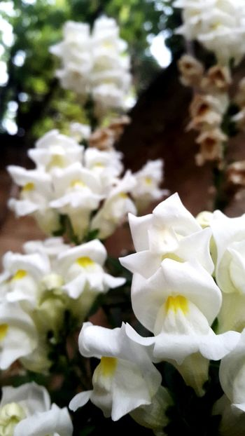 White Flower White Flower The Mouth Of The Fish Flower ⚘🌷 ⚘🌼🌷🍀🌿🌹💐🌸 ⚘ ❤❤ ⚘⚘ 🌷 Flowers 🌹 🌸Nature🌸 Beautiful Beautiful Flowers 🌸 Beautiful Nature Nature Collection Nature Photography 🌼flowers🌼 🌸~ 🌸flower🌸 🌼white Flowers 🌸🌸🌷 ❤️❤️😍😍 🌼❤❤👍👌💋 🌹🌹🌹🌹🌹(^_-) 🌹 🌹🌷 🌷 💐 💐 White Color