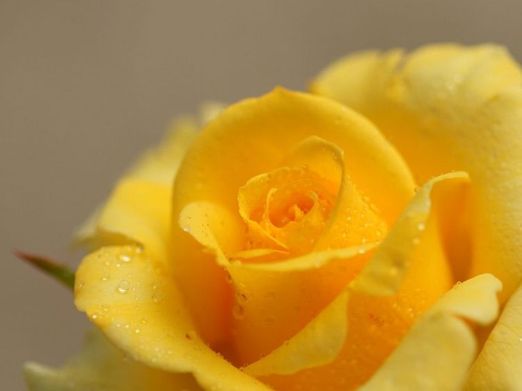 マクロ 水滴 薔薇 バラ 花フェスタ記念公園 お疲れさまでした