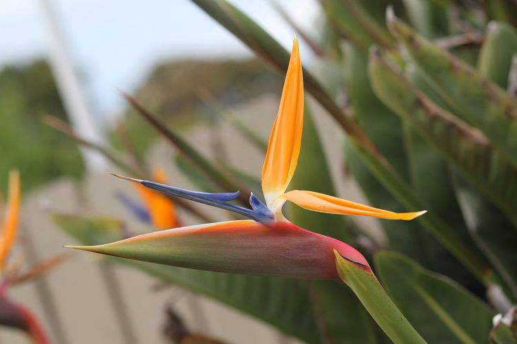 Bird Of Paradise Flower Blue Colours Bright Orange Crown Magical Colour Pink Colour Pointing The Way Selective Focus Springtime