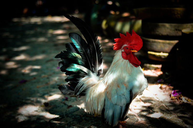 Close-up of a rooster on the land