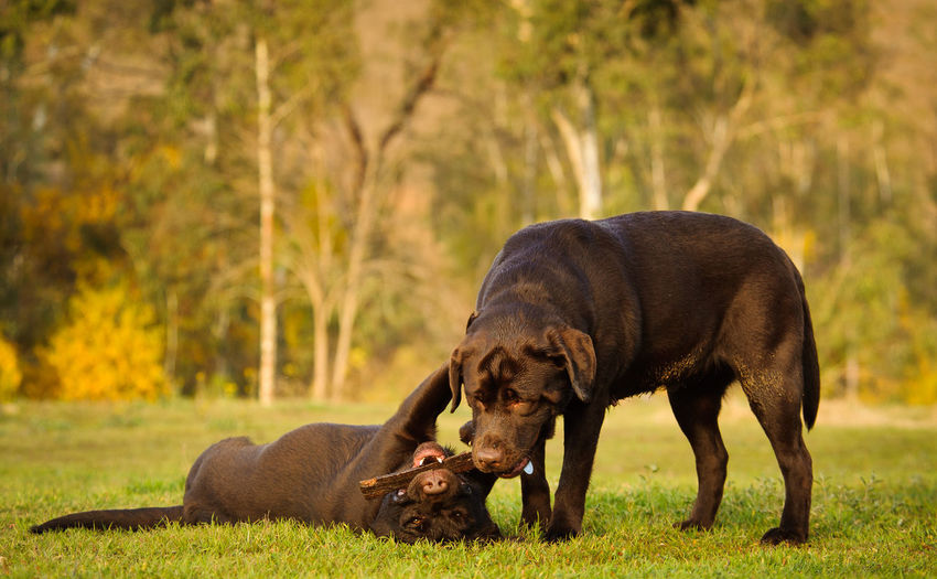 View of two labrador retriever playing with stick on lawn