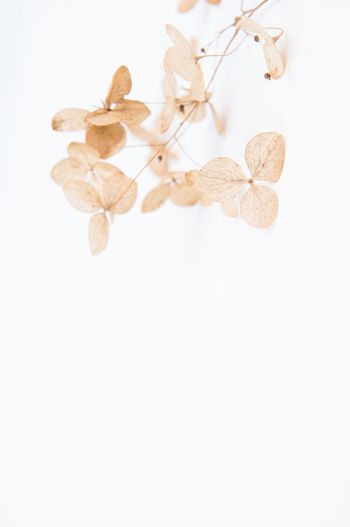 Close-up Day Dried Drink Flor Hydrangeas Macro Nature No People Simple Simplicity White Background