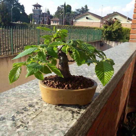 Carpino bonsai 😘😘😘 Tree Nature