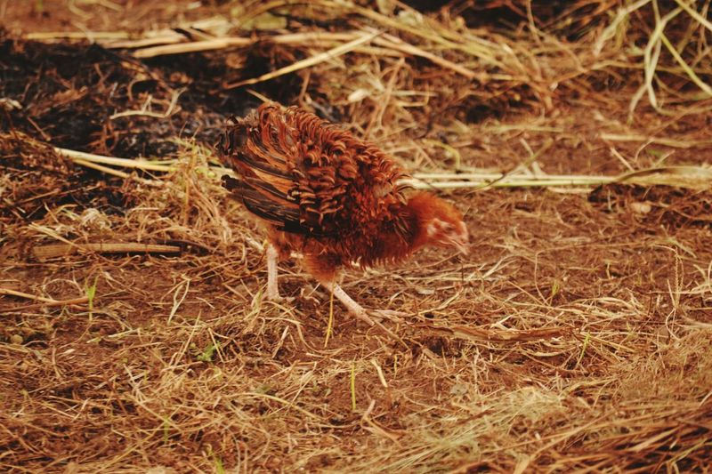 Chicken - Bird Feathered Beauty Feathered Friend Domestic Bird Fluffy Feathers High Angle View Dry Grass Winter Fruits Dry Leaves - Fresh Nature Soil On The Ground