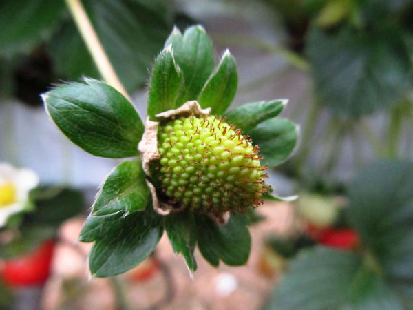 Budding Strawberry, Cameron Highlands, Malaysia Blurred Background Budding Fruit Close-up Focus On Foreground Fruit Green Color Green Fruit Growing Strawberry Macro Photography New Fruit Not Ripe Strawberries Strawberry Strawberry Plant