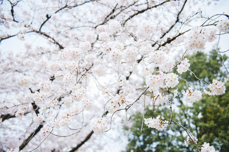 Akatsuka Park, Tokyo. Sakura Season 2016. Beauty In Nature Blooming Blossom Branch Cherry Blossom Cherry Tree Flower Fragility Freshness Fruit Tree Growth In Bloom Low Angle View Nature Petal Sakura Season  Springtime Tree Twig White Color