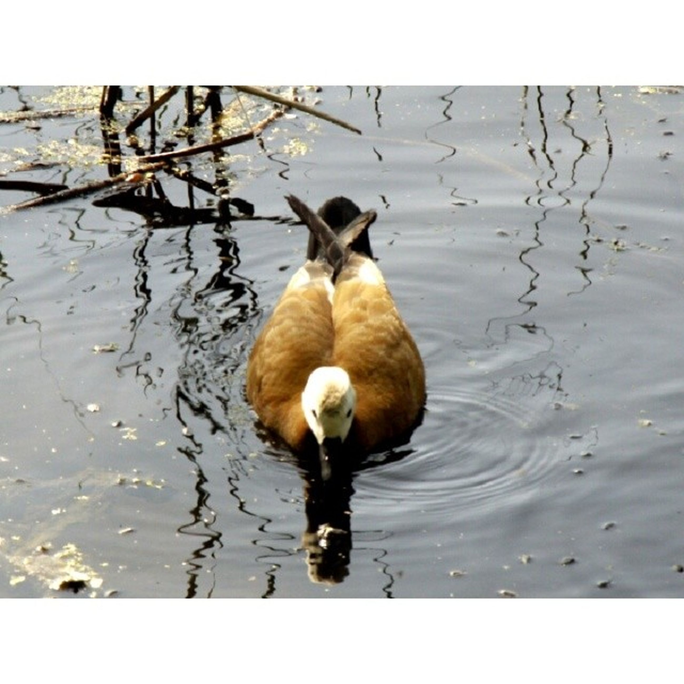 animal themes, water, animals in the wild, lake, wildlife, bird, one animal, reflection, duck, high angle view, swimming, nature, full length, waterfront, water bird, young animal, rippled, two animals, day, zoology