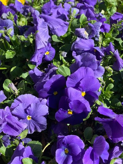 Flower Flowering Plant Purple Plant Vulnerability  Fragility Beauty In Nature Close-up Petal Freshness Growth Inflorescence Flower Head Full Frame Day Outdoors No People Blossom Springtime Nature