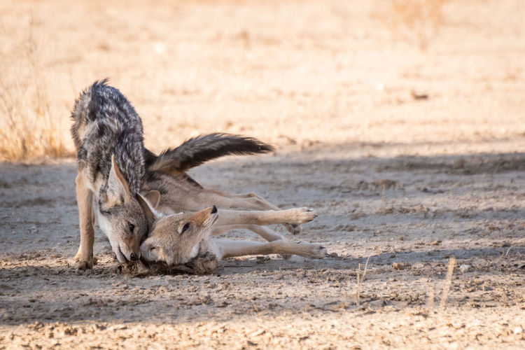 Two black-backed jackals playing