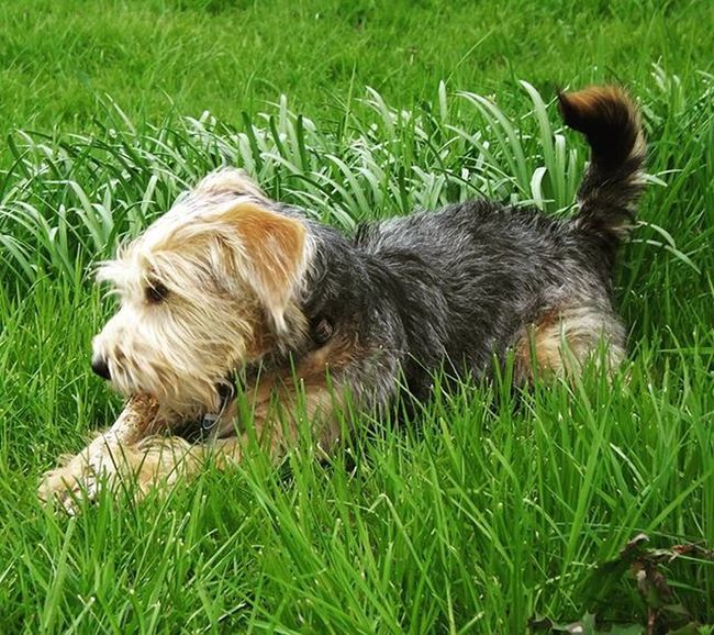 Nico Dogs_of_instagram Doglover Dog Dogsofinstagram Dogs Dogstagram Dogsitting Mypet Mydog Green Grass Greengrass Animals Animalsofinstagram Animal Animallover Dogoftheday Pies Piesek Mojpies Zwierzę Zwierzęta Inspiration Fun relaxing