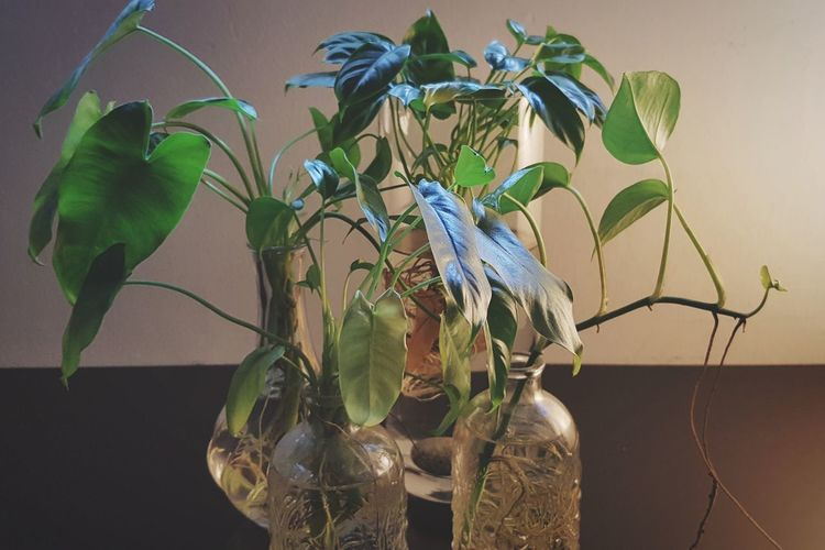indoor water plants in glass vase EyeEm Selects Plants Home Interior Home Decor Life Green Leaves🌿 Roots Of Tree Roots Of Life Roots And Branches Leaf Insect Green Color Animal Wildlife Plant No People Close-up Indoors  Nature Day