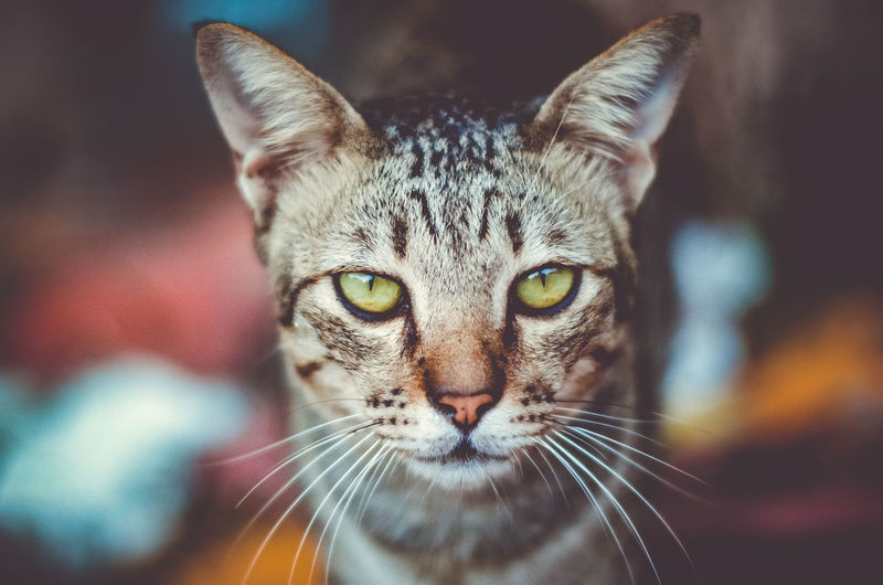 cool cat One Animal Mammal Cat Feline Portrait Domestic Animals Pets Looking At Camera Domestic Domestic Cat Focus On Foreground Close-up Whisker Vertebrate No People Animal Body Part Tabby Animal Eye Yellow Eyes