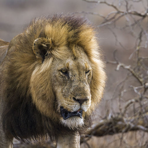 Close-up of lion walking in forest