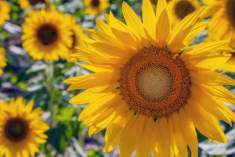 Flowering Plant Flower Yellow Fragility Vulnerability  Flower Head Freshness Beauty In Nature Petal Plant Inflorescence Growth Sunflower Pollen Close-up Nature No People Focus On Foreground Invertebrate Day Outdoors Pollination
