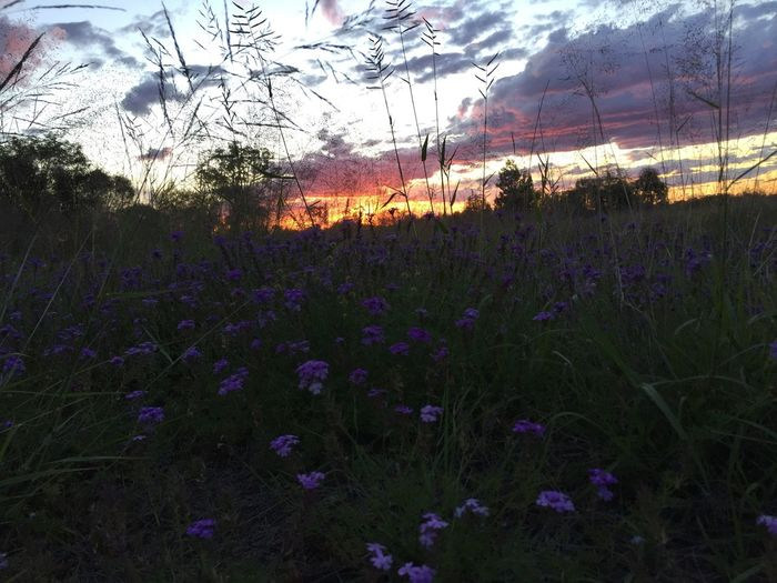 Rural Scene Queensland Outback Flower Purple Beauty In Nature Sunset