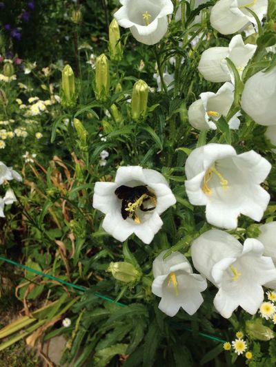 Black Bee Xylocopaviolacea Glockenblume Blaue Holzbiene Violette Bee Xylocopa Flying Bee Insect Wood Bee Flower Bellflower Bee Fly Holzbiene Garden Garden Photography