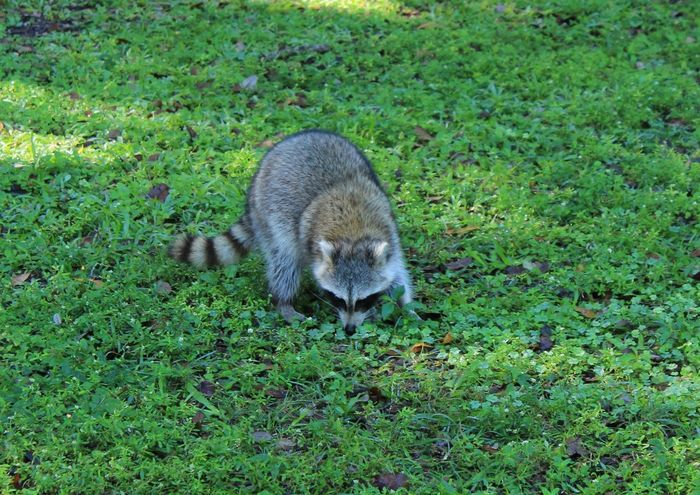 Animal Themes Animal Wildlife Animals In The Wild Day Field Grass Green Color Hedgehog Mammal Nature No People One Animal Outdoors Racoon Racoon Close Up