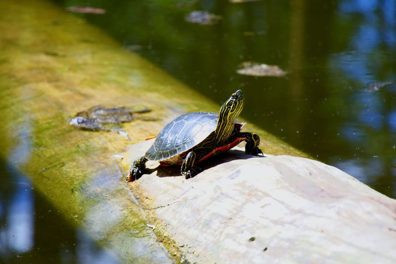 Close-up of turtle in a lake