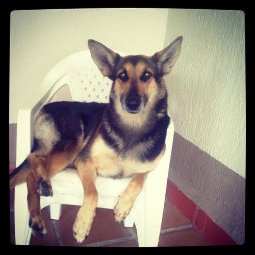 Sim,ela é educada senta SÓ na cadeira!Fifi Dog Amocachorro