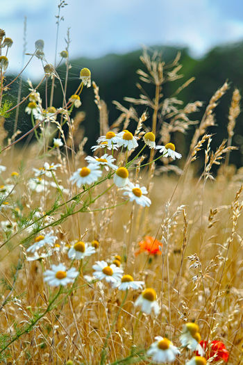 Flowering Plant Flower Plant Growth Fragility Beauty In Nature Freshness Vulnerability  Field Land Nature Day Close-up Selective Focus No People Tranquility Outdoors Yellow Sunlight Petal Flower Head Kamilleblüten Im Feld