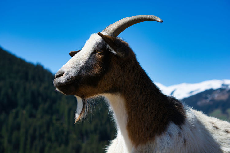 Alpine goat, close up image. she has lost one of her horns but is still charming