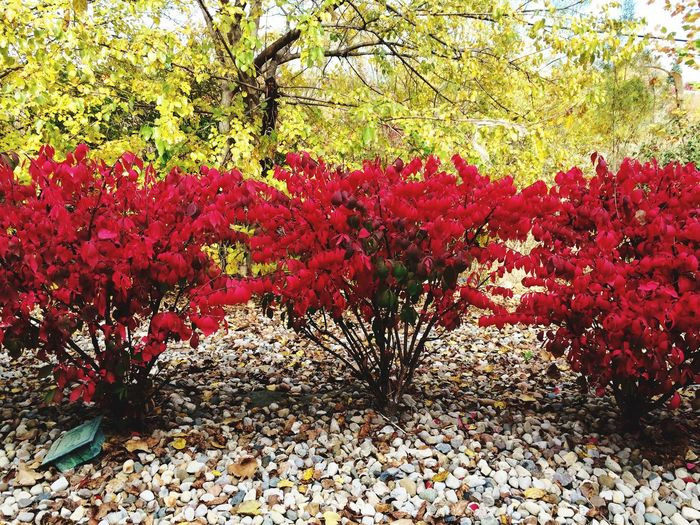 Fall Beauty Fall In Indiana Burning Bush