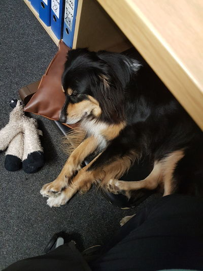 Pets One Animal Domestic Animals Lying Down Animal Themes Mammal Indoors  Close-up No People Day Australianshepherd Dog❤ Relaxing Dreaming Dog Sleeping Dog Office