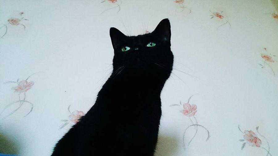 Cat Cats 🐱 Katze Katzen 💜 Animal Pet Schwarz Black Aninals Animal Eye Aninal Themes Katzenliebe Katzenfoto Katzenselfie Katze♥ Tiere Tiere♡ Tiere/Animals