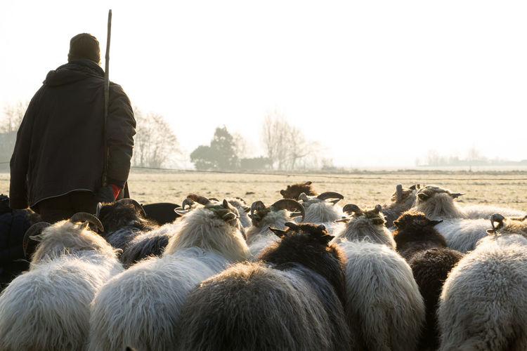 Back view of a herd of sheep with a shepherd in the winter sun