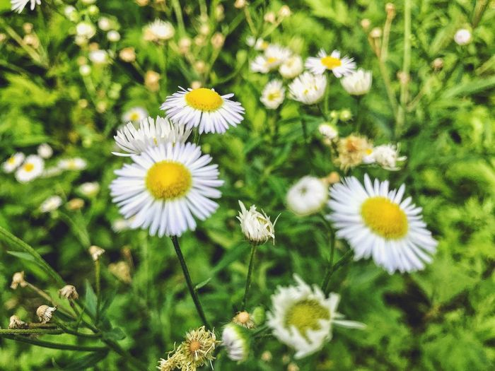 Close-up of white daisies blooming outdoors