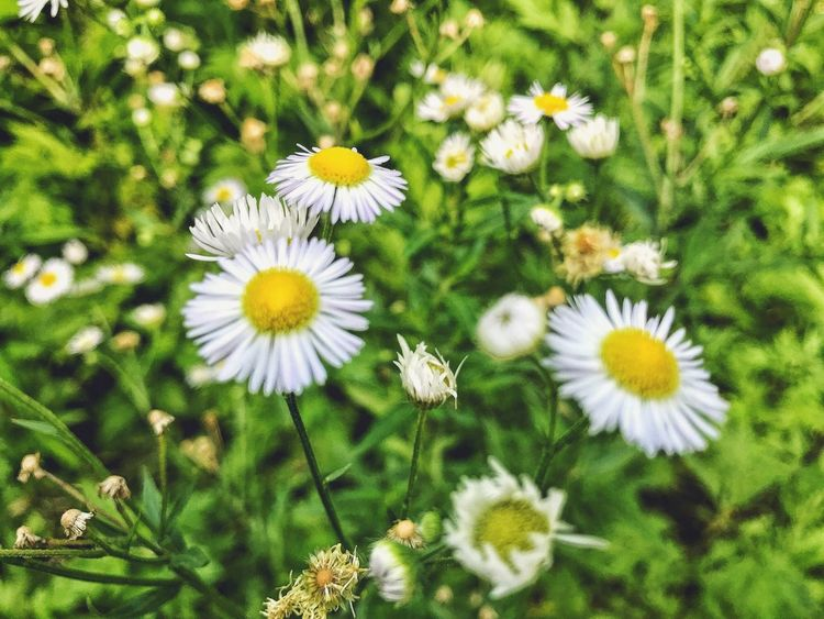 EyeEm Selects Amongst the wild flowers... Flower Petal Nature Growth Flower Head Fragility Freshness Beauty In Nature Daisy Plant Yellow Blooming White Color Day No People Outdoors Uncultivated Close-up Animal Themes Beauty In Nature Feverfew