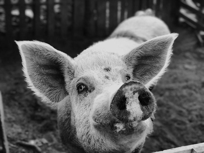 Conversation Piglet Piggy Pet Portraits Pets Pig Pigs Animals The Portraitist - 2018 EyeEm Awards Pet Portraits Pets Pig Pigs Animals The Portraitist - 2018 EyeEm Awards One Animal Looking At Camera Portrait Close-up Outdoors