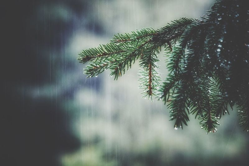 Rainy evening in the mystical forest Beautiful Nature Wildlife & Nature Nature_collection Rain Drops Nature Photography Mystical Wilderness EyeEm Nature Lover EyeEm Best Shots Rainy Days Tree Silhouettes Spruce Tree Plant Tree Growth Beauty In Nature No People Nature Day Green Color Focus On Foreground Close-up Leaf Tranquility Plant Part Branch Low Angle View Outdoors Selective Focus Needle - Plant Part