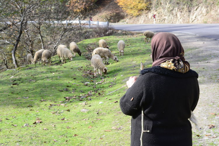 Masuleh, IRAN - December 22, 2017 elderly herder woman beside rural road. Gilan Province Woman Animal Wildlife Beside Road Day Domestic Domestic Animals Field Group Of Animals Herder Land Livestock Mammal Nature One Person Outdoors Pets Plant Rear View Sheeps Standing Tree Vertebrate Warm Clothing