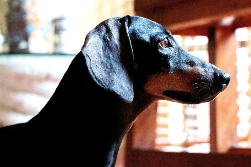 Dachshund #Hermoso #perfil #dog #perro #pet Close-up Face Silhouette Outline Evening Friend