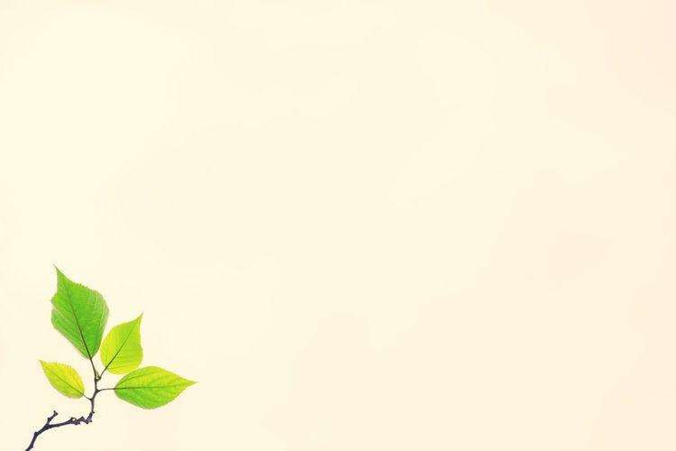 再见夏天 Mint Leaf - Culinary Leaf White Background Studio Shot Tea Crop Copy Space Close-up Plant Green Color