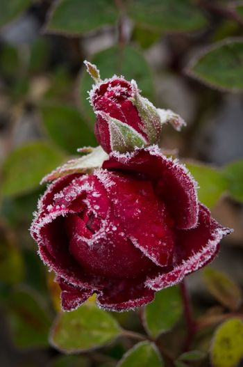 Winter is comming! Flower Nature Growth Red Petal Plant Fragility Focus On Foreground Beauty In Nature Close-up No People Outdoors Pink Color Freshness Blooming Flower Head Day