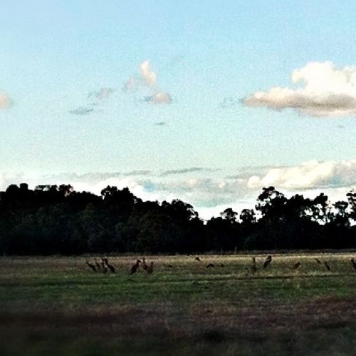 As I was driving by I saw all these Kangaroos. They turned to see what I was doing & when I got my iPhone out they just hopped further away from me...shattered!!! Kangaroo Australia Kangaroos Free Roaming