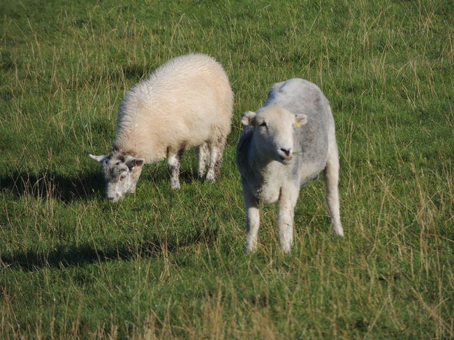 Animals In The Wild England Countryside Animal Animal Photography Animal Themes Animal Wildlife Animals Animals In The Wild Day Domestic Animals Field Fields Grass Grazing Mammal Nature No People Outdoors Sheep Sheeps Sheep🐑 Young Animal