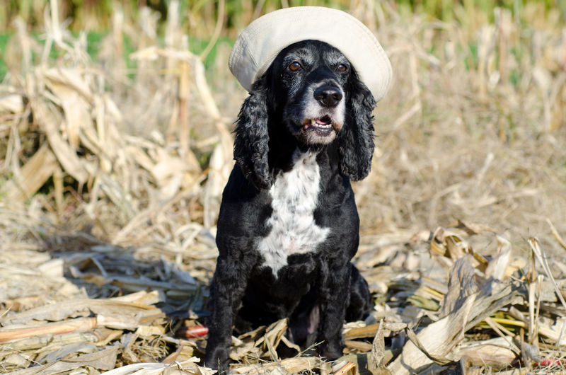 Dog with sailor hat Animal Themes Cocker Spaniel  Color Cute Day Dog Domestic Animals Fantastic Field Hat Looking At Camera Nature No People One Animal Outdoors Pets Sailor Sailor Hat Sitting Dog Sitting Down Sunny Wonderful