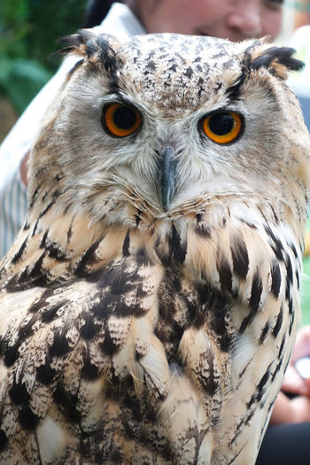 Close-Up Portrait Of Eagle Owl