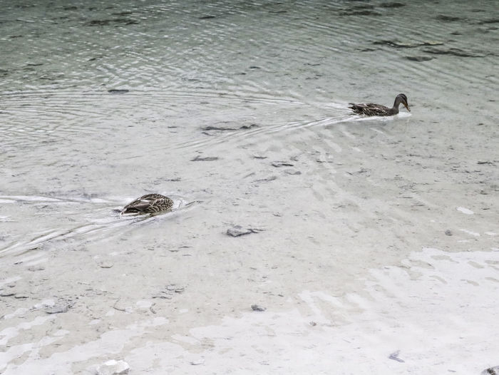 High angle view of duck swimming on snow