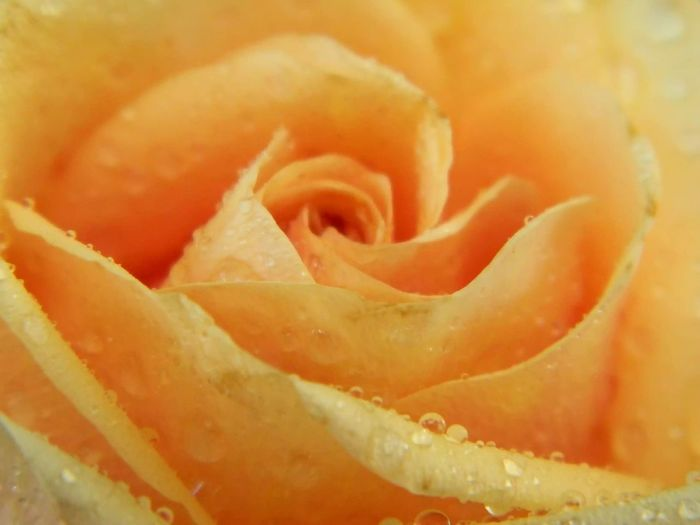 #apricot Rose #soft Petals Apricot Color Blooming Close-up Flower Flower Head Fragility Freshness No People Petal Rosé Rose - Flower Temptation Yellow