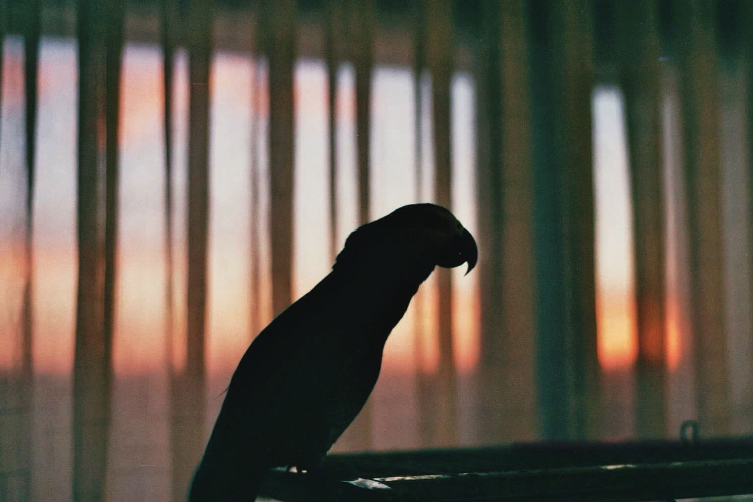 one animal, silhouette, window, indoors, side view, curtain, selective focus, animal themes, focus on foreground, outline, at home, no people, zoology
