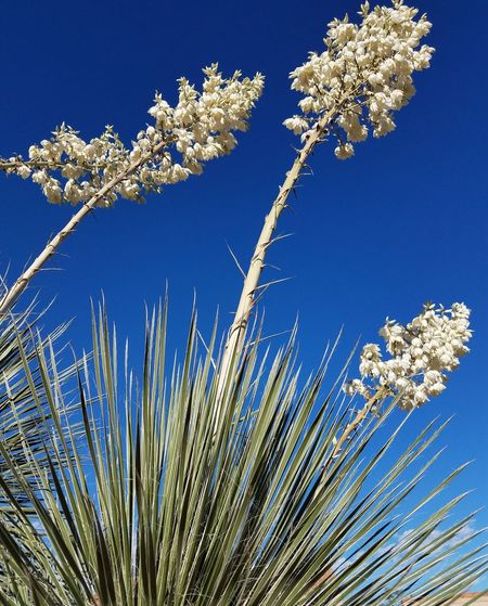 Yucca, no filters, no edits, camera phone, these Yucca Plants And Blooms are 12 to 15 feet tall. Dramatic in An Azure Blue Sky ! No People Nature Beauty In Nature Low Angle View Day Blue Outdoors Flower Fragility Freshness