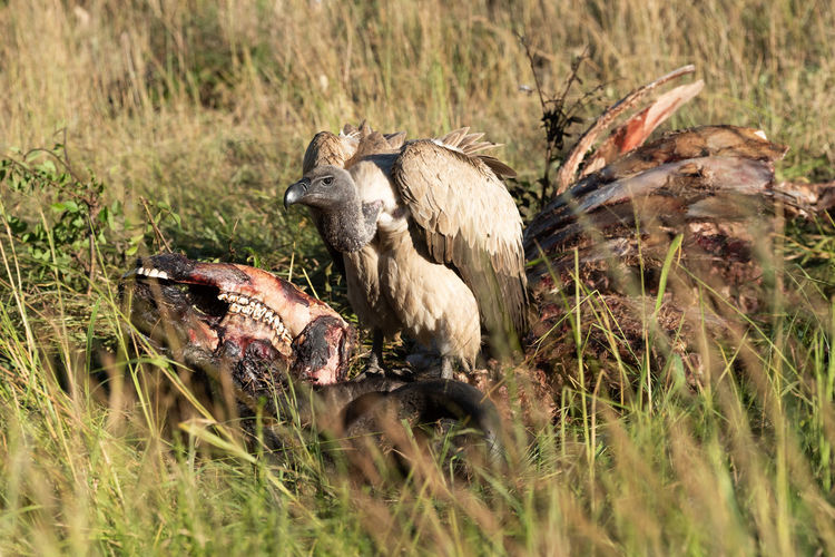 African white-backed vulture standing on buffalo carcase Africa African African White-backed Vulture Gyps Africanus Klein's Camp Nature Serengeti Tanzania Animal Bird Carcase Carcass Game Drive Grassland Kill Safari Savanna Savannah Scavenger Standing Travel Vulture White-backed Vulture Wildlife Animal Themes Animal Wildlife Animals In The Wild Group Of Animals Grass Vertebrate Plant No People Young Animal Day Medium Group Of Animals Young Bird Outdoors Eating Selective Focus Animal Family Flock Of Birds Mouth Open