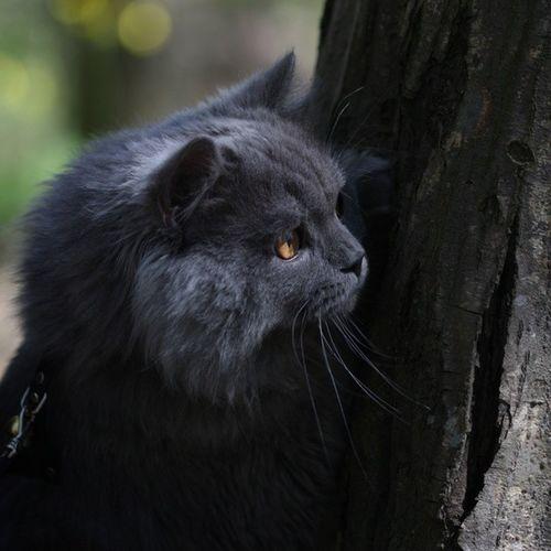 Duman Cat Kedi Ne gördü acaba british longhair sweet tree belgrad forest follow