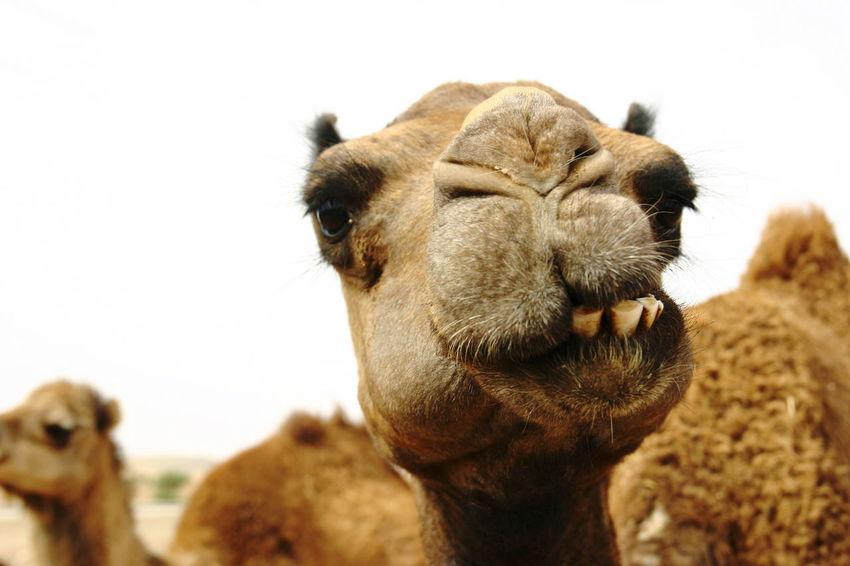 Wdcreativa Marocco Loves Animal Dromedary Cammel Zoo Desert