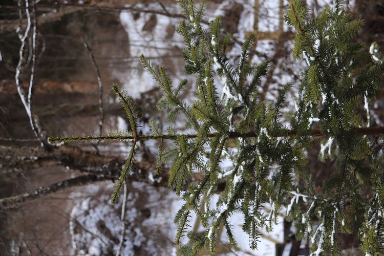 Close-up of frozen trees in forest