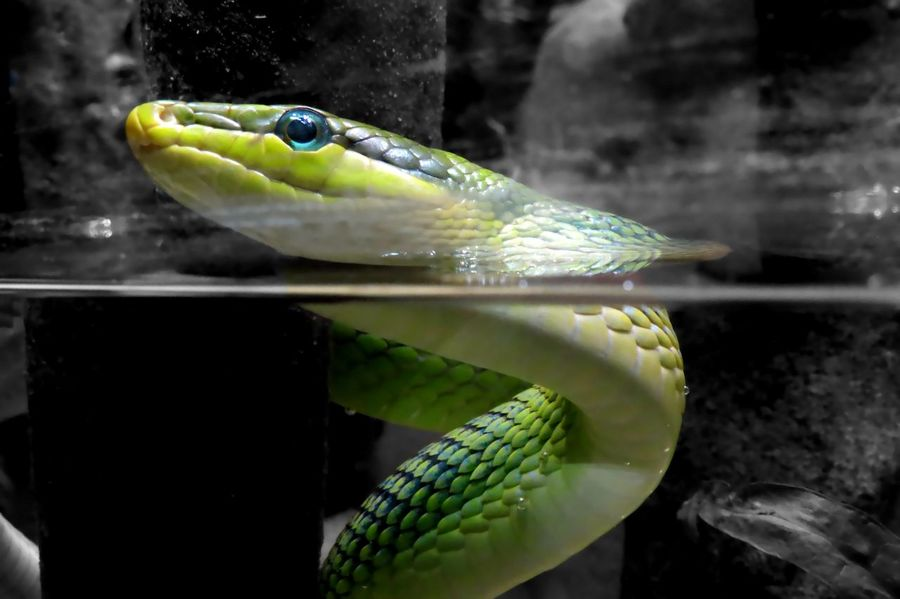 Animal Eye Animal Themes Animal Wildlife Animals In The Wild Aquarium Beautiful Pattern  Beauty In Nature Black And White Background Blue Eye Close Up Nature Close-up Colorful Animal Day Green Color Looking At Camera Nature No People One Animal Outdoors Reptile Sea Life Snake Swimming Underwater Water